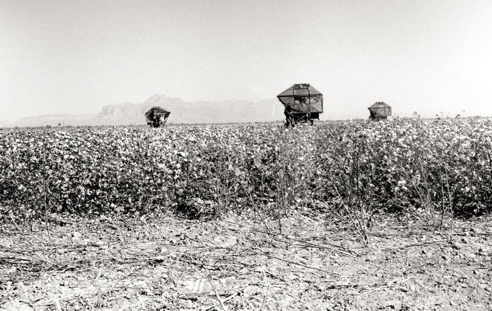 harvesting cotton at a ranch east of Mesa, circa 1950s