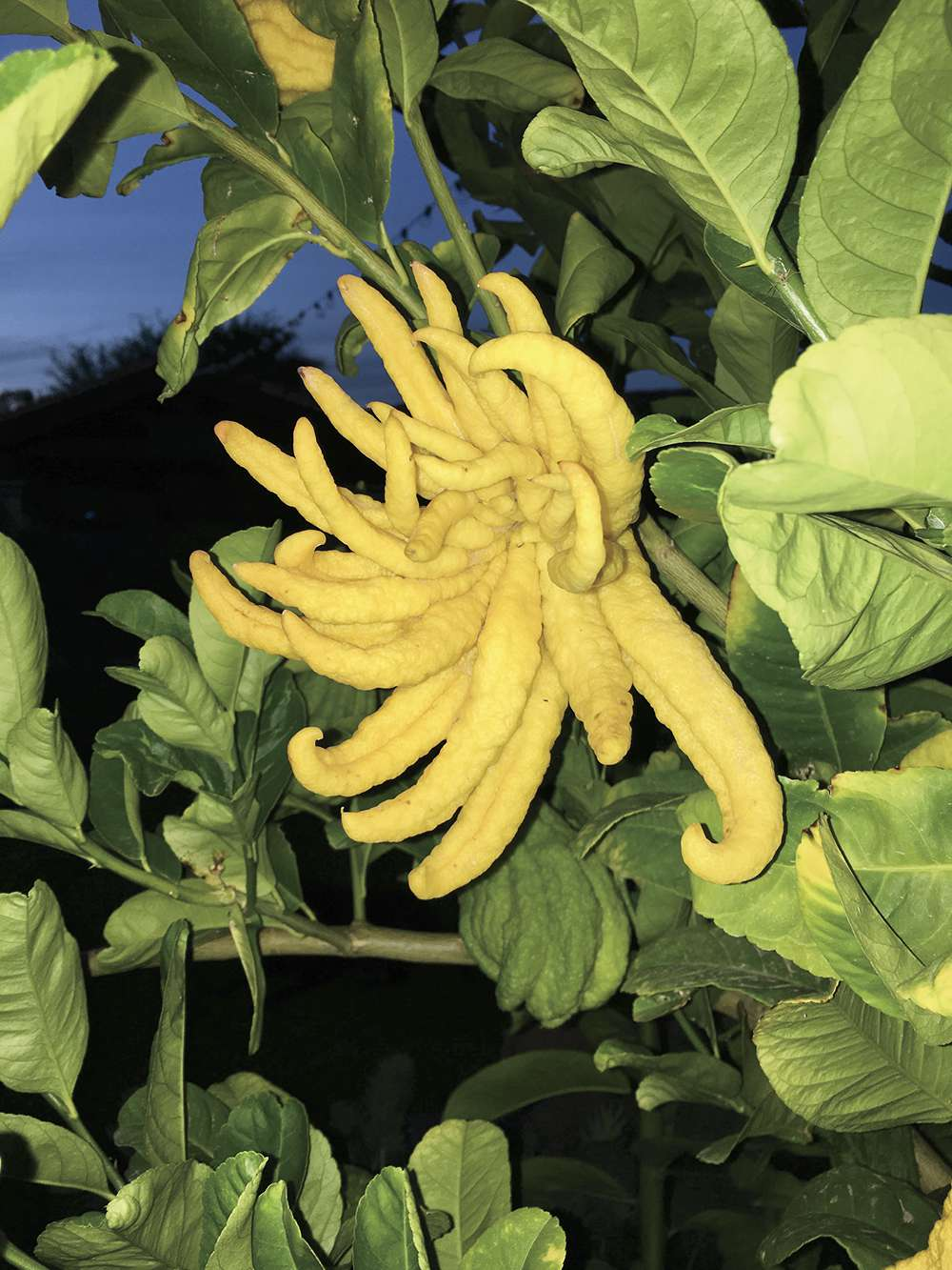 "Jerry Altman""Buddha's Hand Citron"""