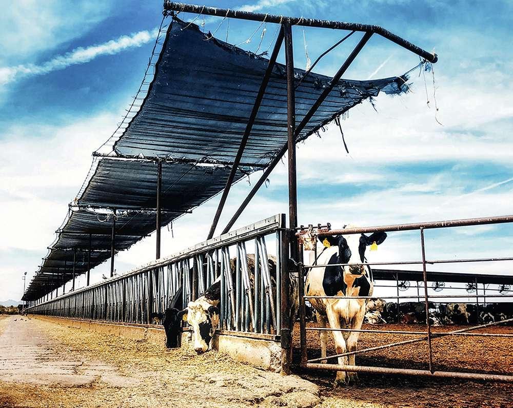 """Tracy Fultz """"AZ Dairy Farm"""""""