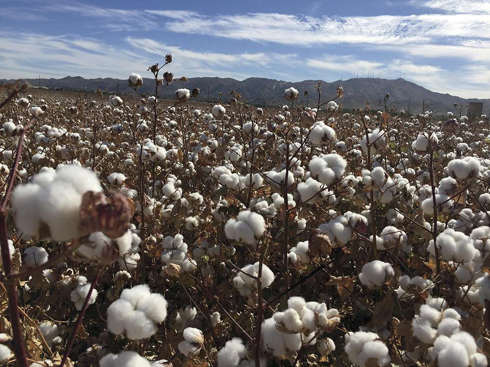 """Brittany Conklin """"Cotton Abounds"""""""