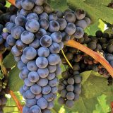 Pav on Juice: The Joy of Tannat