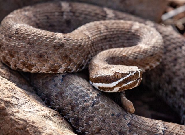 photo by Brian Hughes: Tiger rattlesnake in Maricopa