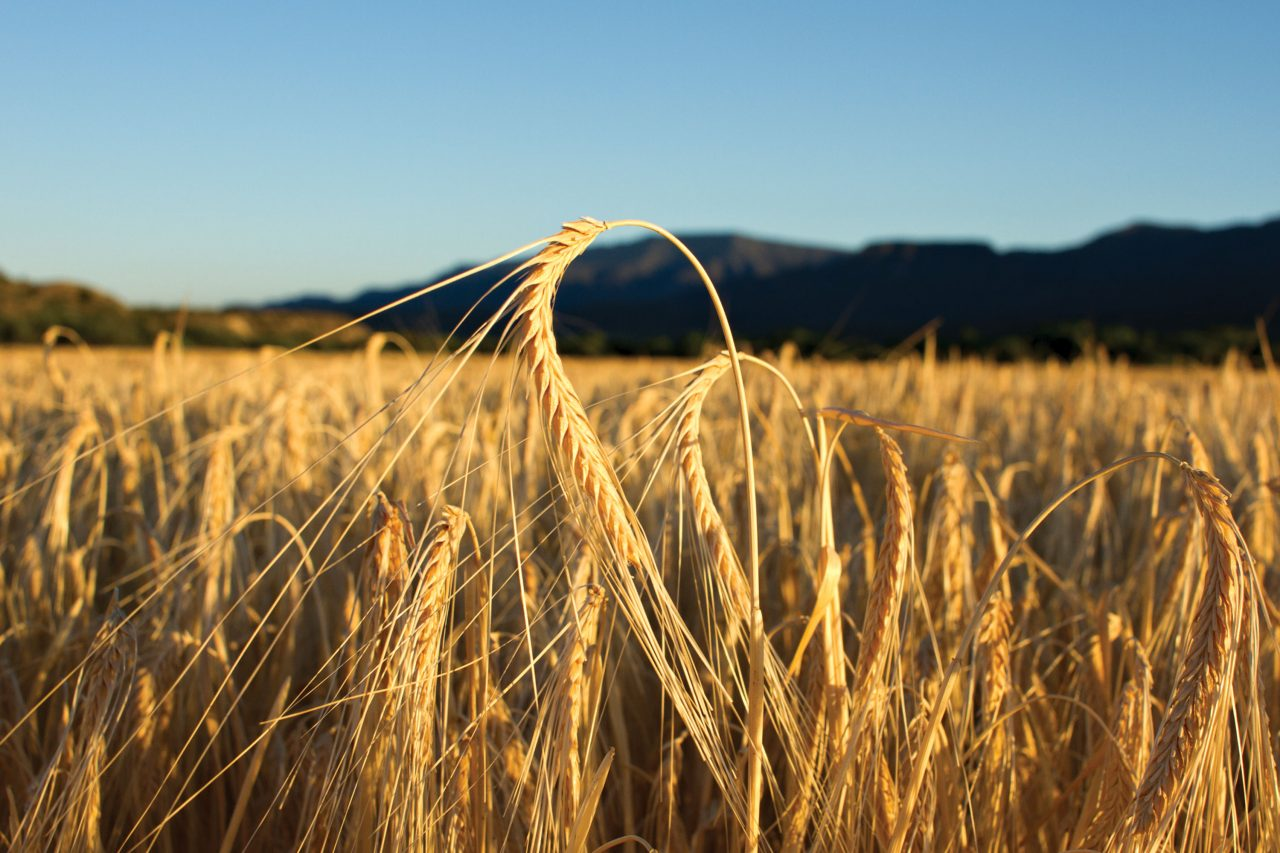Barley fields at The Nature Conservancy's Shield Ranch in Camp Verde, Arizona; Photo by Chris Chappell