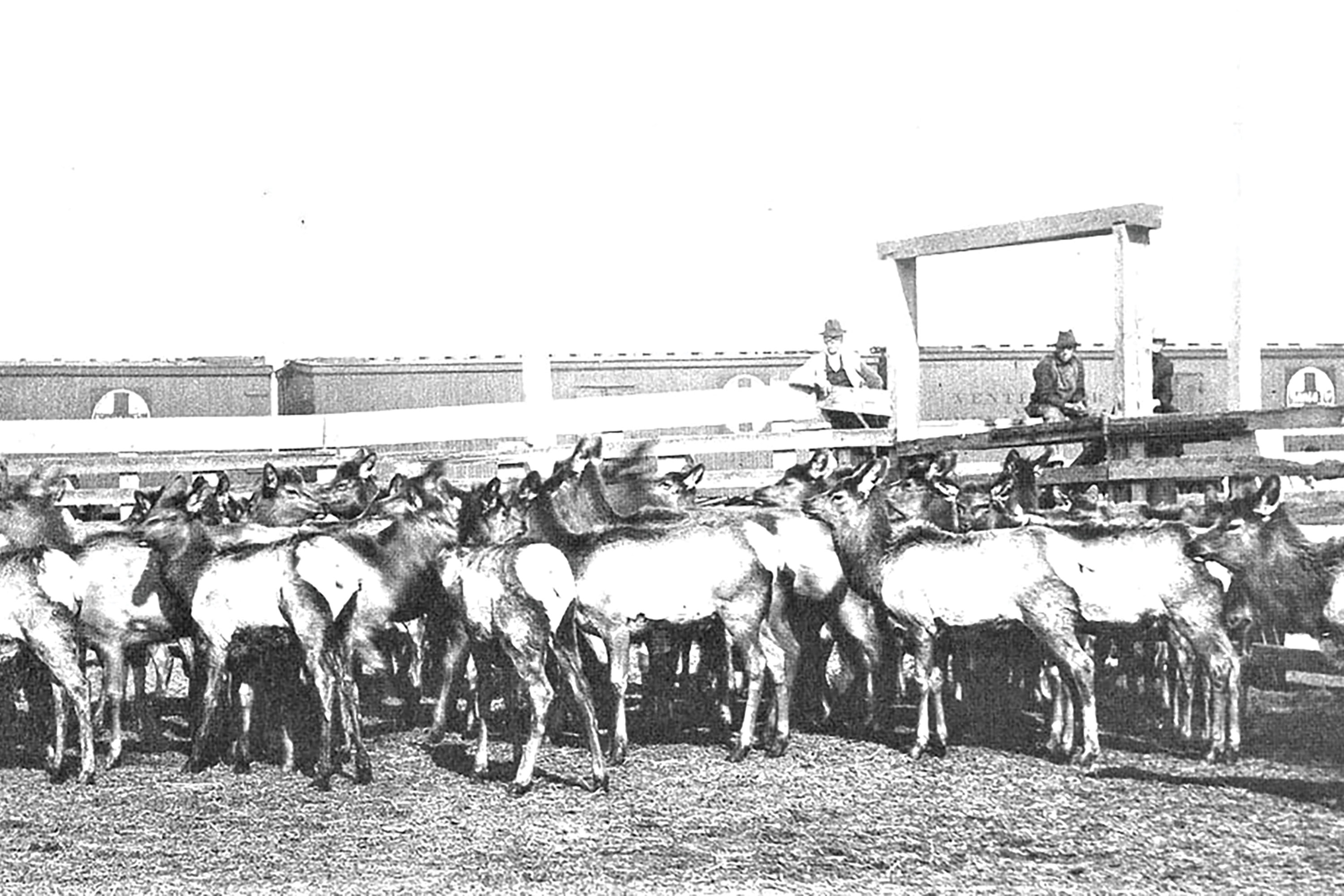 Rocky Mountain elk transported from Yellowstone National Park are unloaded in Winslow in 1913.; Photo courtesy The Old Trails Museum