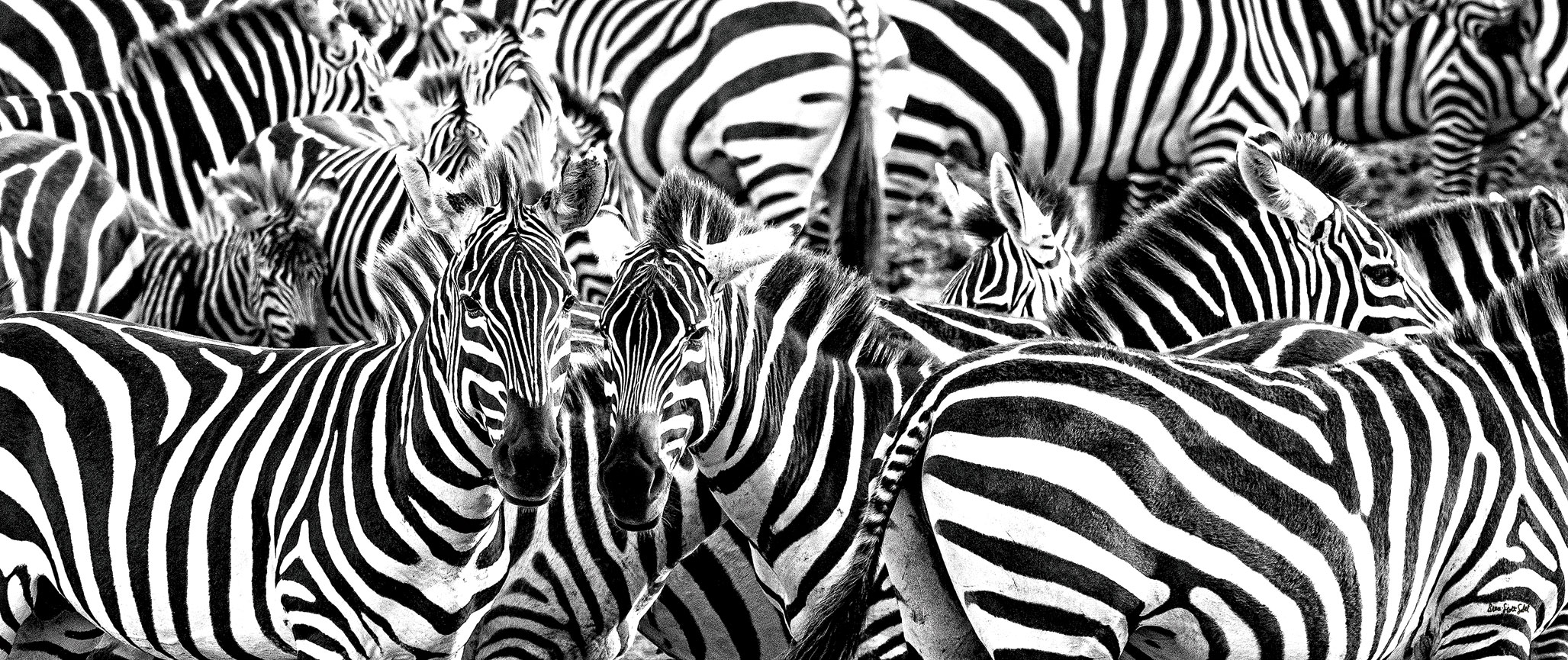 """Dr. Bruce Sobel photographed """"Zillion Zebras"""" at the Mara River in the Serengeti, Tanzania, in December 2019"""