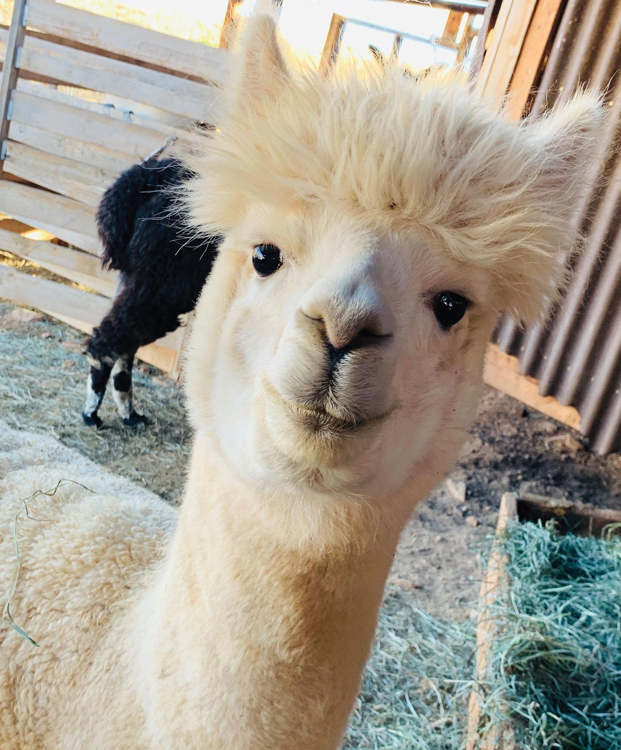 alpaca at Thunder Mountain Alpaca Ranch; Photo courtesy Harvest Hosts
