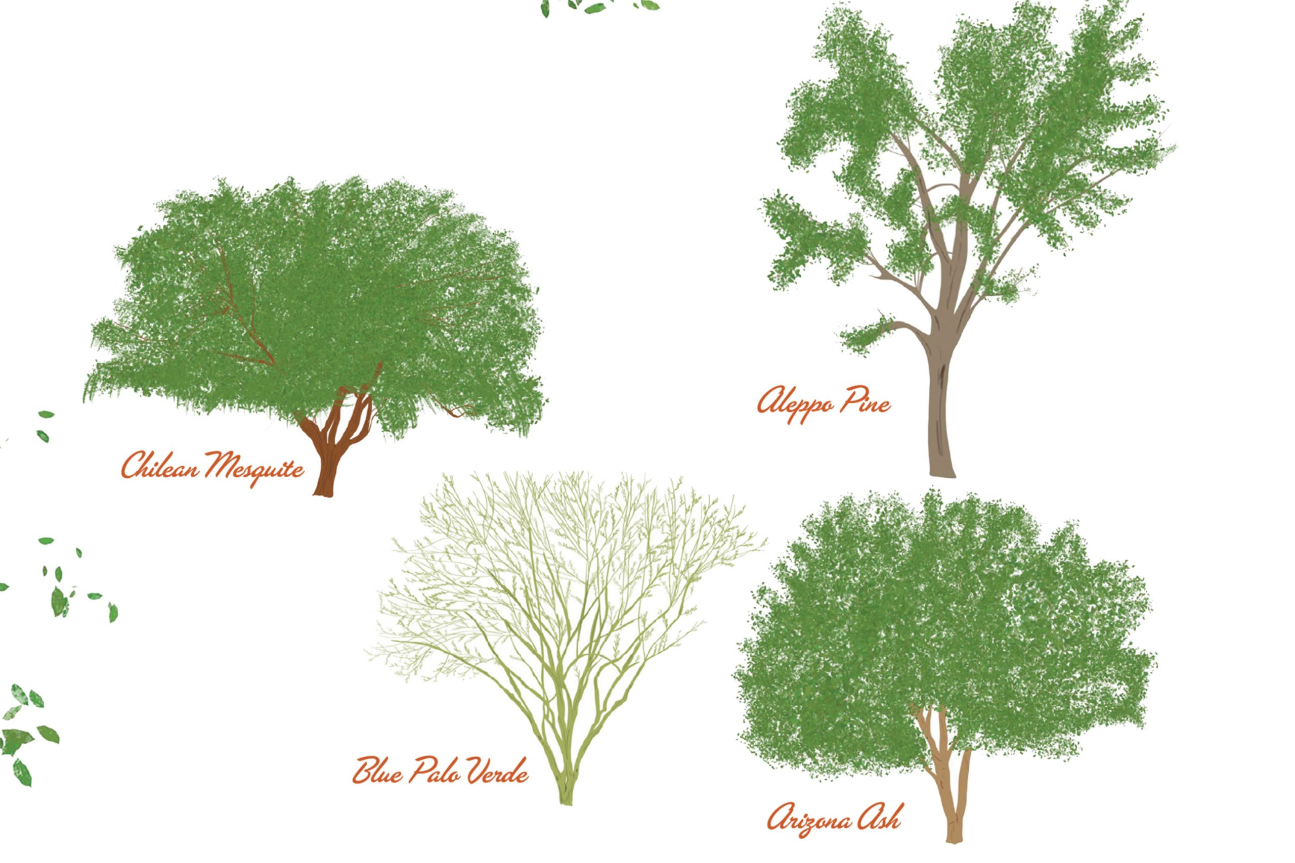 These are among the most widely planted and recognizable trees in Phoenix.; Illustration by Angela Aragon
