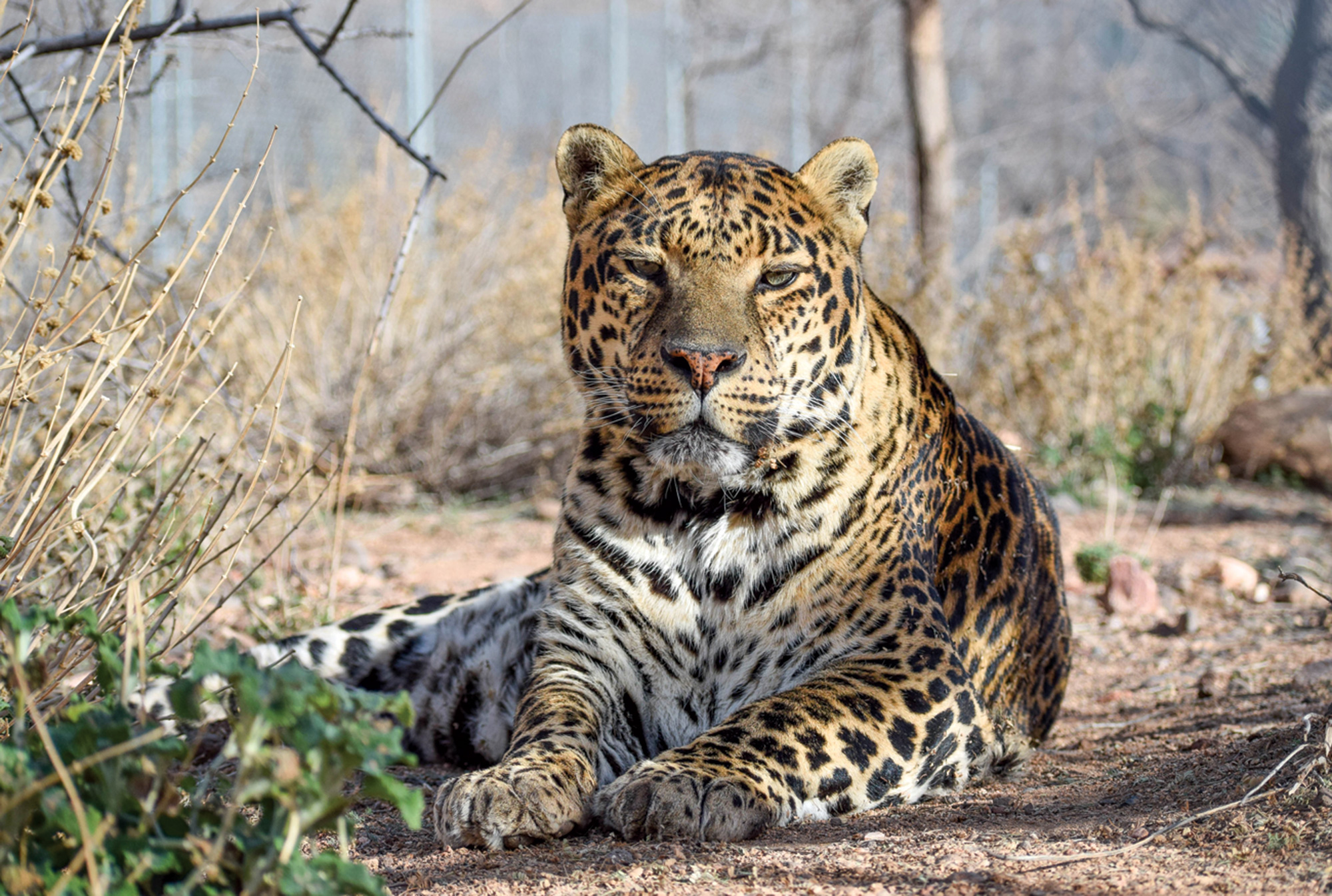 A leopard in repose at Keepers of the Wild; Photo by Lara Kraft/Keepers of the WIld