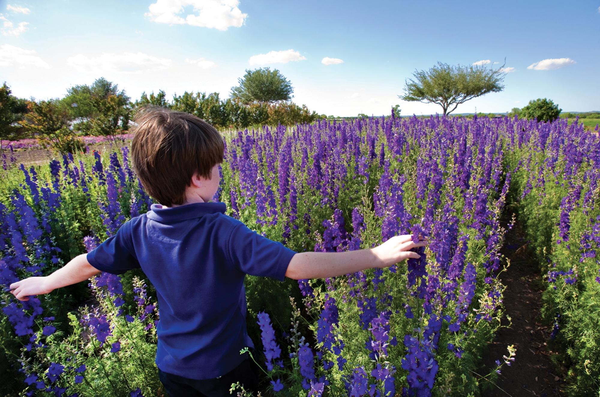 bluebonnets at Wildseed Farms in Fredericksburg, Texas; Photo by Steve Rawls/courtesy Fredericksburg CVB
