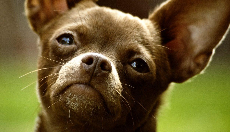 https://www.phoenixmag.com/wp-content/uploads/2021/04/Chihuahua_Dog_001-1251x720.jpg