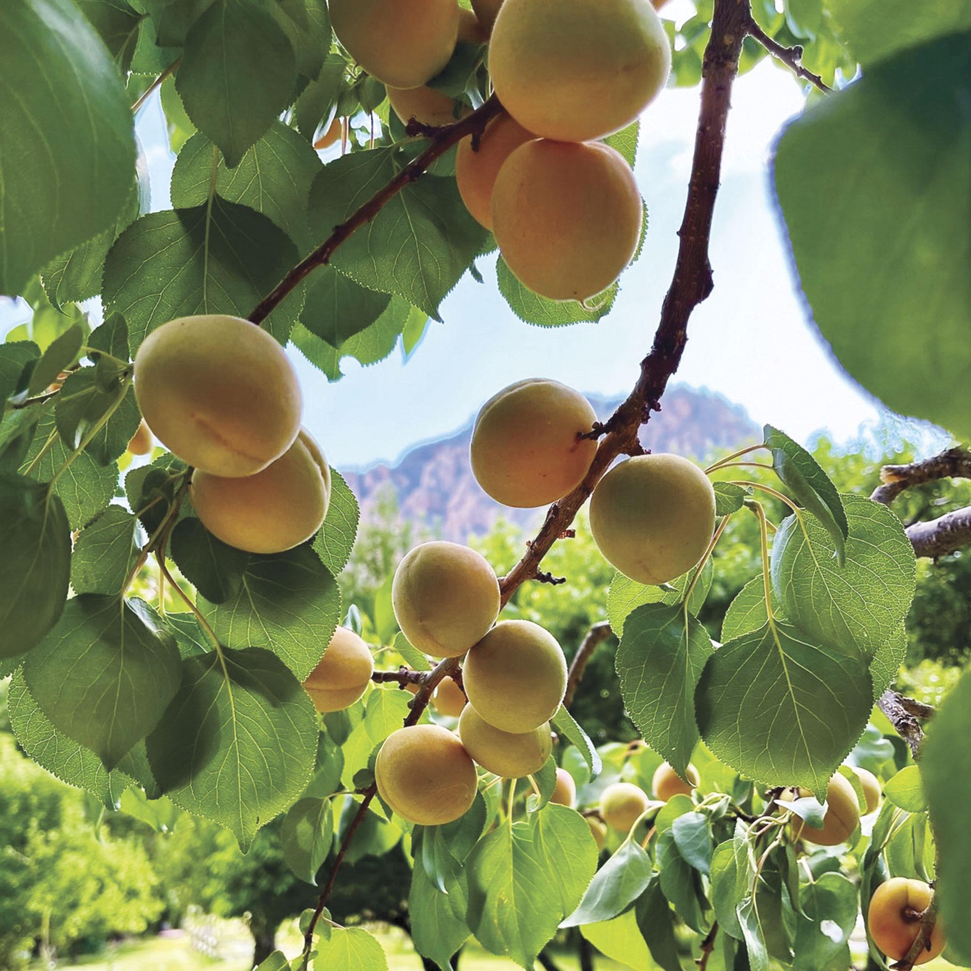 peach orchard; Photo courtesy Orchard Canyon On Oak Creek